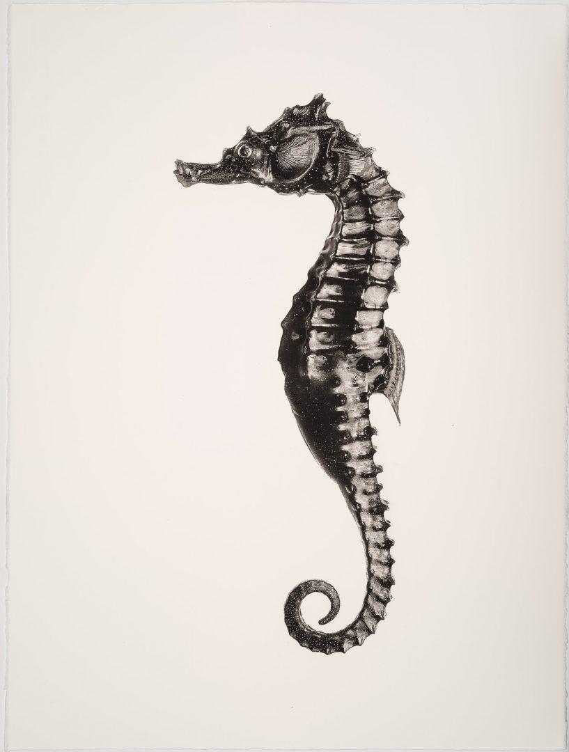 Werk: Hippocampus Barbouri male
